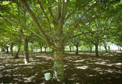 Friuli Day (Sassafras Chestnut Farm, Australia – 26 marzo)